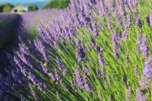 Plant Varieties - Lavanders